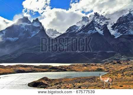 Neverland Patagonia. On coast of lake Pehoe graceful guanaco . Away in the clouds - the cliffs of Los Kuernos.  National Park Torres del Paine in Chile