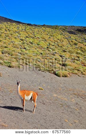 Magic country Patagonia. Gravel road between the mountains and trusting guanaco -  small camel. National Park Torres del Paine in Chile