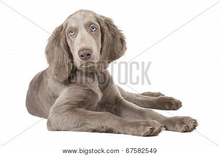 Weimaraner Puppy, Three Months Old, Isolated On White