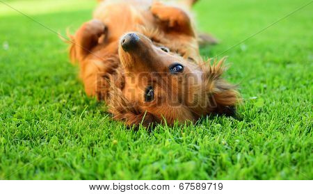 Brown Dachsie In Garden