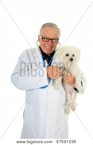 A friendly Veterinarian holds a Pure Breed Bichon Frise dog as he checks her Heart and Lungs with his Stethoscope.  Isolated on white with room for your text.