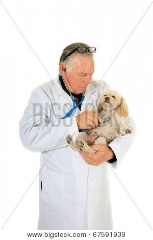 A kind and caring Veterinarian Checks the Heart, Lungs and Mammary Tumors on a sweet little 10 year old poodle. Isolated on white with room for your text. Mammary Tumors are fairly common in dogs.
