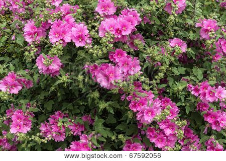 Pink Mallow Plant