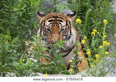 tiger behind bushes