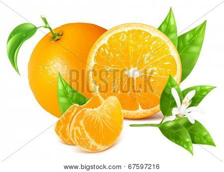Fresh ripe oranges with leaves and blossom. Vector illustration.