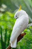 stock photo of cockatoos  - Beautiful white Cockatoo Sulphur - JPG