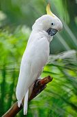 picture of cockatoos  - Beautiful white Cockatoo Sulphur - JPG
