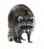 pic of raccoon  - Young Raccoon Isolated On White Background - JPG