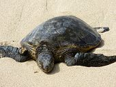 Постер, плакат: Hawaiian Sea Turtle Rest On Beach