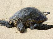 Постер, плакат: Hawaiian Sea Turtle Rest On Beach