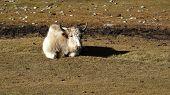 pic of yaks  - Lying white yak - JPG