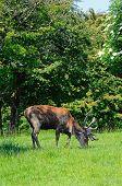 image of broadway  - Male red deer in a meadow near Broadway Worcestershire England UK Western Europe - JPG