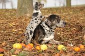 picture of catahoula  - Amazing Louisiana Catahoula dog with adorable puppy in autumn - JPG