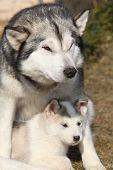 picture of malamute  - Alaskan malamute parent playing with puppy on the garden - JPG