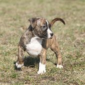 image of american staffordshire terrier  - Amazing American Staffordshire Terrier puppy moving in nature - JPG