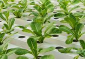 image of romaine lettuce  - Romaine Lettuce Vegetable Plantation In Hydroponics System - JPG