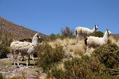 stock photo of lamas  - Lamas shot in Bolivia - JPG