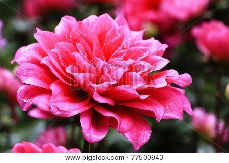 Dahlia flowers and raindrop
