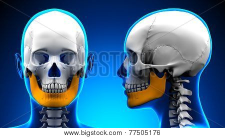 Female Mandible Bone Skull Anatomy - Blue Concept