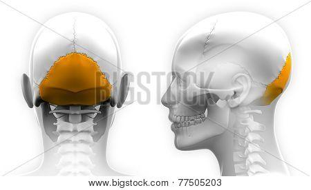 Female Occipital Bone Skull Anatomy - Isolated On White