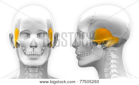 Female Temporal Bone Skull Anatomy - Isolated On White