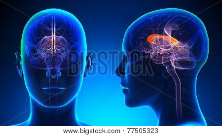 Female Corpus Callosum Brain Anatomy - Blue Concept