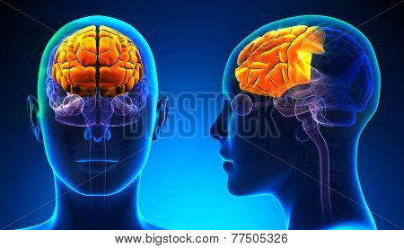 Female Frontal Lobe Brain Anatomy - Blue Concept