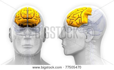Male Frontal Lobe Brain Anatomy - Isolated On White
