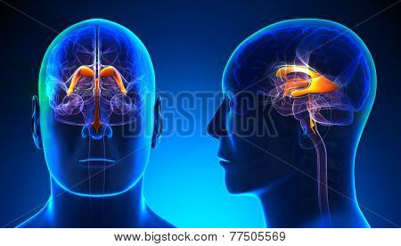 Male Venctricles Of Brain Anatomy