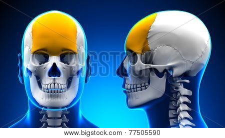 Male Frontal Bone Skull Anatomy - Blue Concept