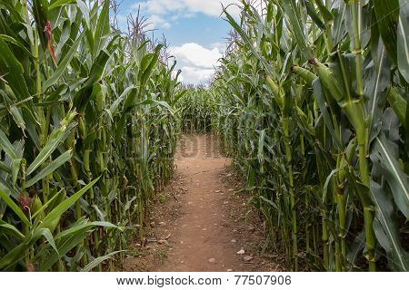 Large Corn Field