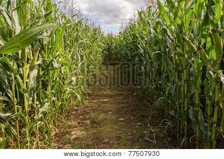 Trail In Big Corn Field