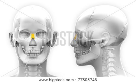 Female Nasal Bone Skull Anatomy - Isolated On White