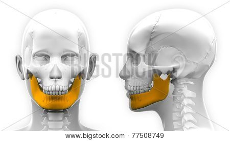 Female Mandible Bone Skull Anatomy - Isolated On White