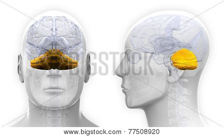 Male Cerebellum Brain Anatomy - Isolated On White