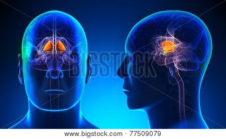 Male Basal Ganglia Brain Anatomy - Blue Concept