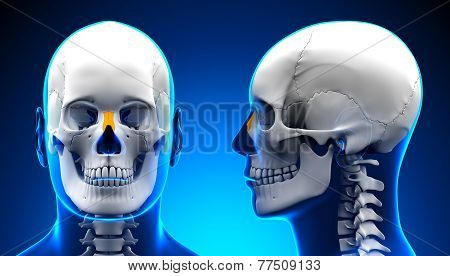 Male Nasal Bone Skull Anatomy - Blue Concept