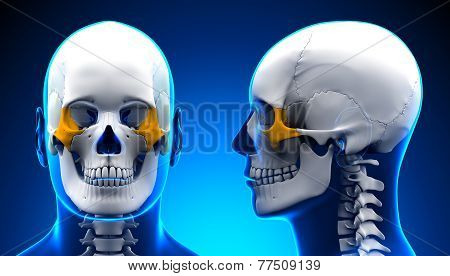 Male Zygomatic Bone Skull Anatomy - Blue Concept