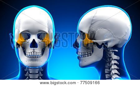Female Zygomatic Bone Skull Anatomy - Blue Concept