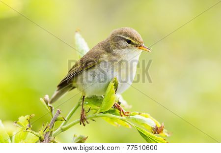 Willow Warbler on a sunny day  on a branch