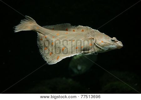 European plaice fish (Pleuronectes platessa).