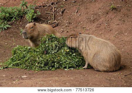 Two capybaras (Hydrochoerus hydrochaeris) eating fresh grass.