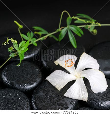 Beautiful Spa Concept Of Blooming Delicate White Hibiscus, Green Twig With Tendril Passionflower Wit