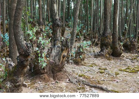 Eucalyptus Forest In Ethiopia