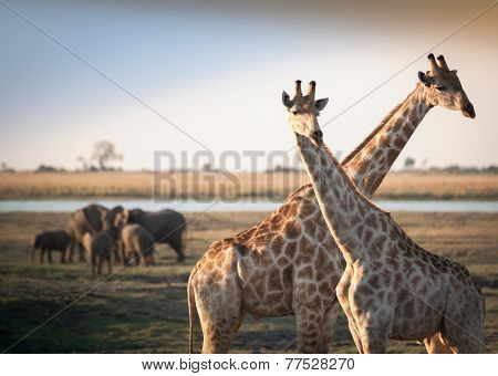 crossed giraffes with elephants