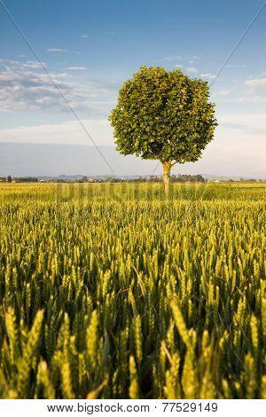 Young Plane Tree In A Wheat Field - Tuscany Countryside (italy)