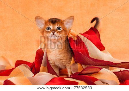 Little Abyssinian Kitten With Headscarf