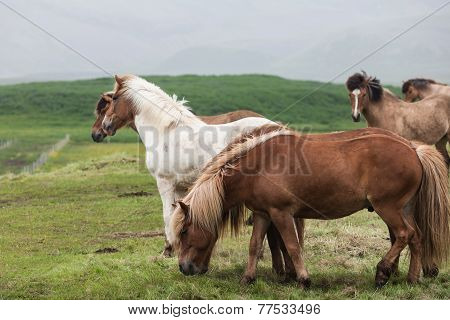 Iceland. Horses In The Meadow