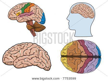 Human Brain In Vector