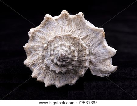Spiral Part Of A Conch Shell.